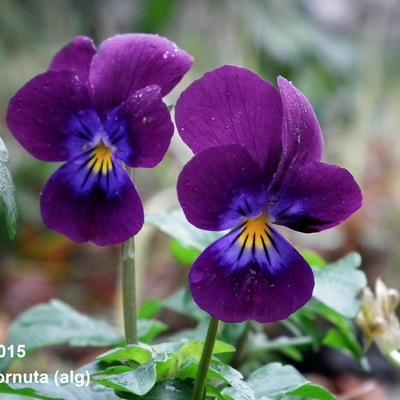 Viola cornuta -