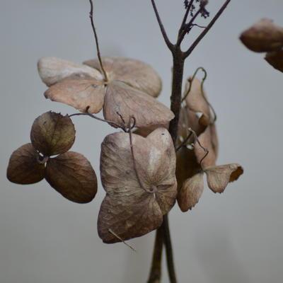 Hydrangea serrata 'Kurenai' -
