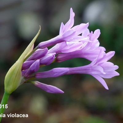 Tulbaghia violacea - Moeraslook, kaapse knoflook, Knobi Flirt - Tulbaghia violacea