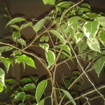 Ficus Benjamina 'Golden King' - Ficus Benjamina 'Golden King' - Treurvijg