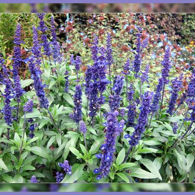 Salvia farinacea -