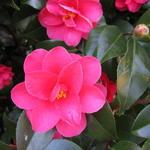 Camellia japonica 'Chandleri Elegans' - Camellia japonica 'Chandleri Elegans' - Camelia