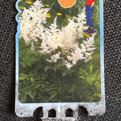 Astilbe japonica 'Gladstone' -