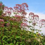 Eupatorium purpureum - Leverkruid/Koninginnekruid - Eupatorium purpureum