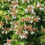 Abelia x grandiflora 'Francis Mason' - Abelia x grandiflora 'Francis Mason' - Abelia