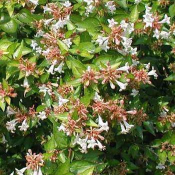 Abelia Abelia X Grandiflora Francis Mason Sierheesters
