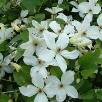 Clematis 'Forever Friends'