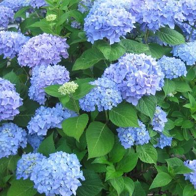 Hydrangea macrophylla  'Nikko Blue' -