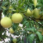 Citrus paradisi - Citrus paradisi - Grapefruit, roze pompelmoes
