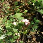 Symphoricarpos x doorenbosii 'White Hedge' - Sneeuwbes, Klapbes - Symphoricarpos x doorenbosii 'White Hedge'