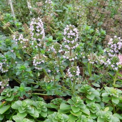 Thymus serpyllum 'Coccineus' -