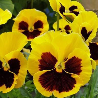 Viola x wittrockiana -