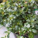 Rhododendron 'Sir Robert' - Japanse azalea