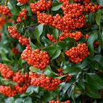 Pyracantha 'Mohave' - Vuurdoorn - Pyracantha 'Mohave'