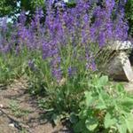Salvia pratensis - Veldsalie - Salvia pratensis