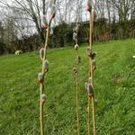 Salix cinerea - Grauwe wilg - Salix cinerea