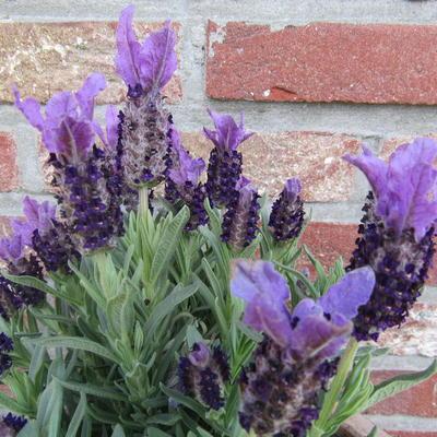 Lavandula angustifolia 'Ellagance Purple' -