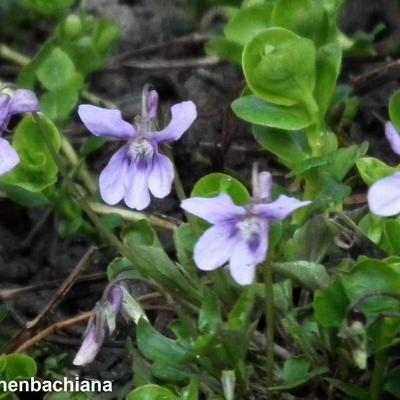 Viola reichenbachiana -