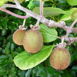 Actinidia chinensis 'Solo'  - Actinidia chinensis 'Solo'  - Chinese kruisbes, Kiwi