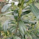 Prunus laurocerasus 'Caucasica'  - Laurierkers - Prunus laurocerasus 'Caucasica'