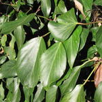 Hedera colchica 'Arborescens' - Hedera colchica 'Arborescens' - Perzische klimop