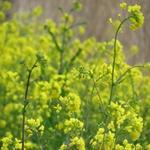 Brassica napus - Brassica napus - Koolzaad