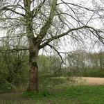 Populus alba - Witte abeel, Zilverpopulier  - Populus alba