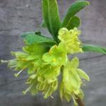 Lonicera caerulea var. kamtschatica - Honingbes - Lonicera caerulea var. kamtschatica