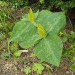 Trillium luteum - Drieblad/Boslelie - Trillium luteum