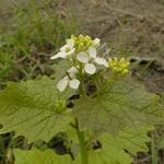 Alliaria petiolata - Alliaria petiolata - Look-zonder-look