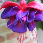 Fuchsia 'Dark Eyes' - Bellenplant