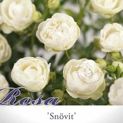 Rosa 'Snövit' -