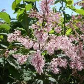 Syringa 'MISS Japan'