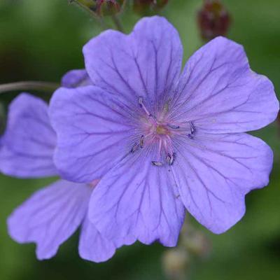 Geranium libani x peloponnesiacum -