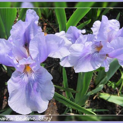 Iris germanica 'Bedtime Story' -
