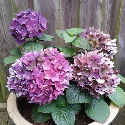 Hydrangea macrophylla 'Deep Purple' -