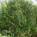 Phillyrea angustifolia - Steenlinde - Phillyrea angustifolia
