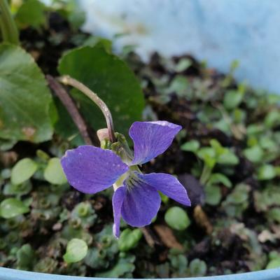 Viola sororia 'Blue Diamond' -