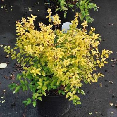 Ligustrum ovalifolium 'Lemon and Lime' -