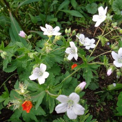 Geranium x oxonianum 'Trevor's White' -