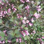 Weigela florida 'Foliis Purpureis' - Weigelia