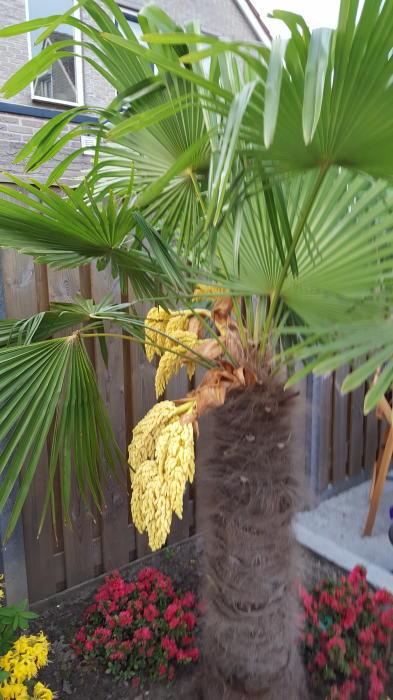 palm windmolenpalm chinese waaierpalm trachycarpus fortunei planten online kopen tuinadvies. Black Bedroom Furniture Sets. Home Design Ideas