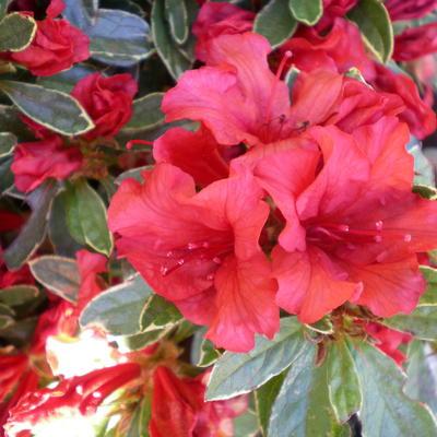 Rhododendron 'Hot Shot Variegata' -