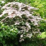 Viburnum plicatum var. tomentosum 'Molly Schroeder' -