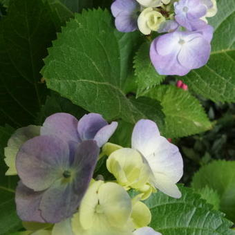 Hydrangea macrophylla FLAIR & FLAVOUR 'Minty Ice'