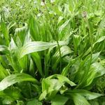 Plantago lanceolata - Plantago lanceolata - Smalle weegbree