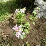 Gevlekte dovenetel - Lamium maculatum 'Pink Pewter'