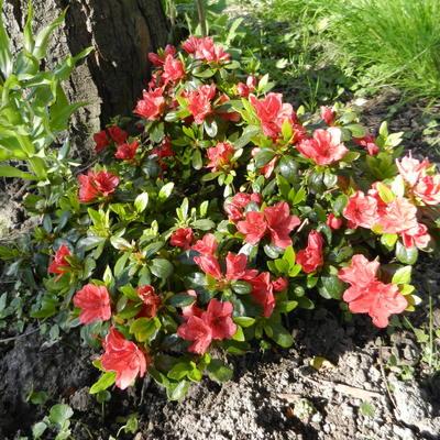 Azalea verzorging na bloei