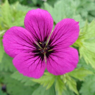 Geranium 'Nicola' -