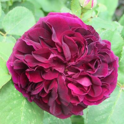 Rosa 'Munstead Wood' -